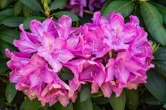 """Catawbiense del rododendro del †del rododendro de la montaña """" foto de archivo libre de regalías"""
