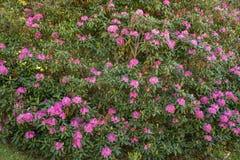 """Catawbiense del rododendro del †del rododendro de la montaña """" imágenes de archivo libres de regalías"""