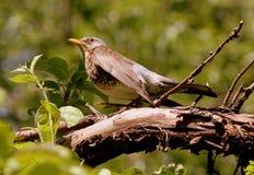 Catbird птицы Стоковое Изображение RF