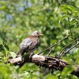 Catbird птицы Стоковые Фотографии RF