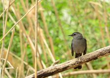 Catbird Royalty Free Stock Photos