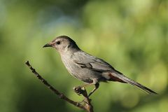 Catbird Stock Photography