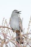 Catbird amid buds. Gray Catbird calling from newly budding bushes Stock Photography