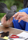 Catbird Being Banded. A Catbird nips the finger of a wildlife volunteer as she prepares to band the bird to track its southern migration Stock Image