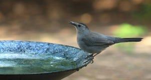 Catbird-birdbath Royalty Free Stock Photography