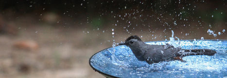 Catbird- Blows bubbles Royalty Free Stock Photos