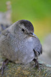 Catbird on branch Stock Photo