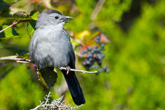 Catbird cinzento Foto de Stock Royalty Free