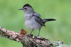 Catbird cinzento (carolinensis do Dumetella) Foto de Stock Royalty Free