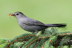 Catbird cinzento (carolinensis do Dumetella) Fotografia de Stock Royalty Free
