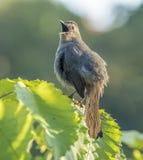 Catbird cinzento, carolinensis do Dumetella Fotos de Stock Royalty Free