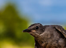 Catbird closeup Royalty Free Stock Photos