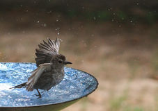 Catbird- Cold Cold Cold. Catbird in a bird bath with wings up and looks cold Royalty Free Stock Photo