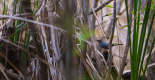 A Catbird in the cuban mangrove thicket Royalty Free Stock Photo