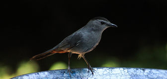Catbird-dark side on the bird bath Stock Photo