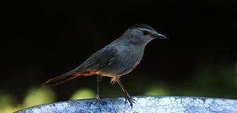 Catbird-dark side on the bird bath Stock Photo