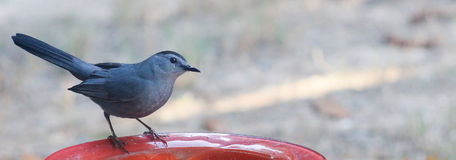 Catbird-Dumetella Narrow Royalty Free Stock Image
