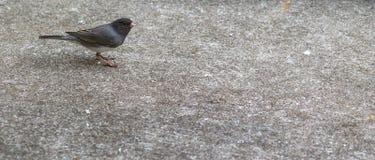 Catbird-Dumetella Royalty Free Stock Images