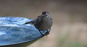 Catbird-on the edge Royalty Free Stock Photography