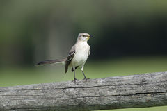 Mockingbird on fence Stock Photo