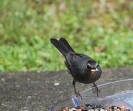Catbird Full Beak. Catbird-Dumetella perched on a bowl of bird food with a food in his beak Stock Photo