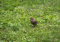 Catbird. Gray Catbird on the green grass Stock Photos