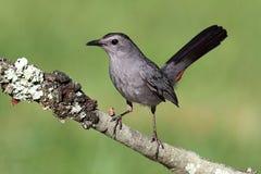 Catbird grigio (carolinensis del Dumetella) Immagini Stock Libere da Diritti