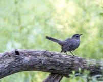 Catbird grigio, carolinensis del Dumetella Immagine Stock Libera da Diritti