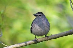Catbird grigio (carolinensis di carolinensis del Dumetella) Fotografia Stock