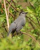 Catbird gris Foto de archivo