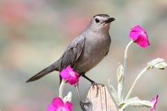 Catbird gris (carolinensis de Dumetella) Photo stock