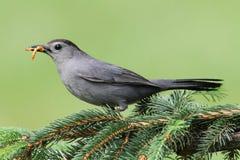 Catbird gris (carolinensis de Dumetella) Photographie stock libre de droits