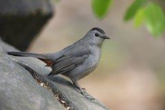 Catbird gris (carolinensis del carolinensis del Dumetella) Fotografía de archivo