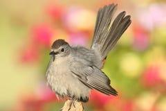 Catbird gris (carolinensis del Dumetella) Foto de archivo