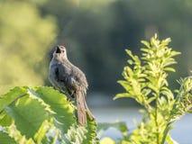 Catbird gris, carolinensis del Dumetella Foto de archivo