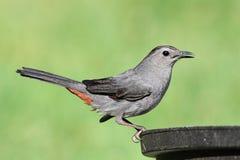 Catbird gris sur Bath d'oiseau Image libre de droits