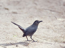 Catbird on the Ground Royalty Free Stock Images
