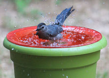 Catbird- Makes it rain Stock Photos
