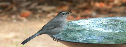 Catbird-One drop. Catbird perched on the edge of the bird bath with one drop falling from beak Stock Image