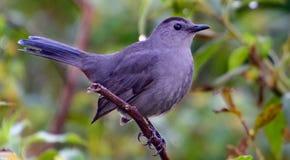 Catbird på en filialprofil royaltyfri bild