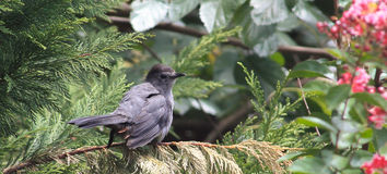 Catbird perched. On an evergreen tree branch Royalty Free Stock Images