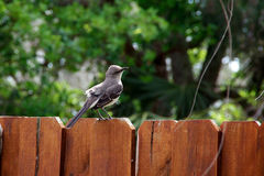 Catbird perched on fence Stock Photo