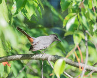 Catbird perched on a tree branch Stock Photos
