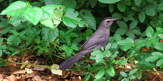 Catbird Searching Stock Photography