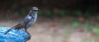 Catbird-shake it off Royalty Free Stock Images