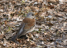 Catbird in spring. One catbird is searching for food on the ground in springtime Royalty Free Stock Image