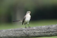Catbird sul recinto Fotografia Stock