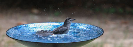 Catbird- Tailfeathers Royalty Free Stock Image