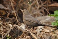 Catbird, Turdus-merula Stock Foto