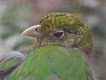 Catbird verde de contrato atrativo no close up foto de stock royalty free